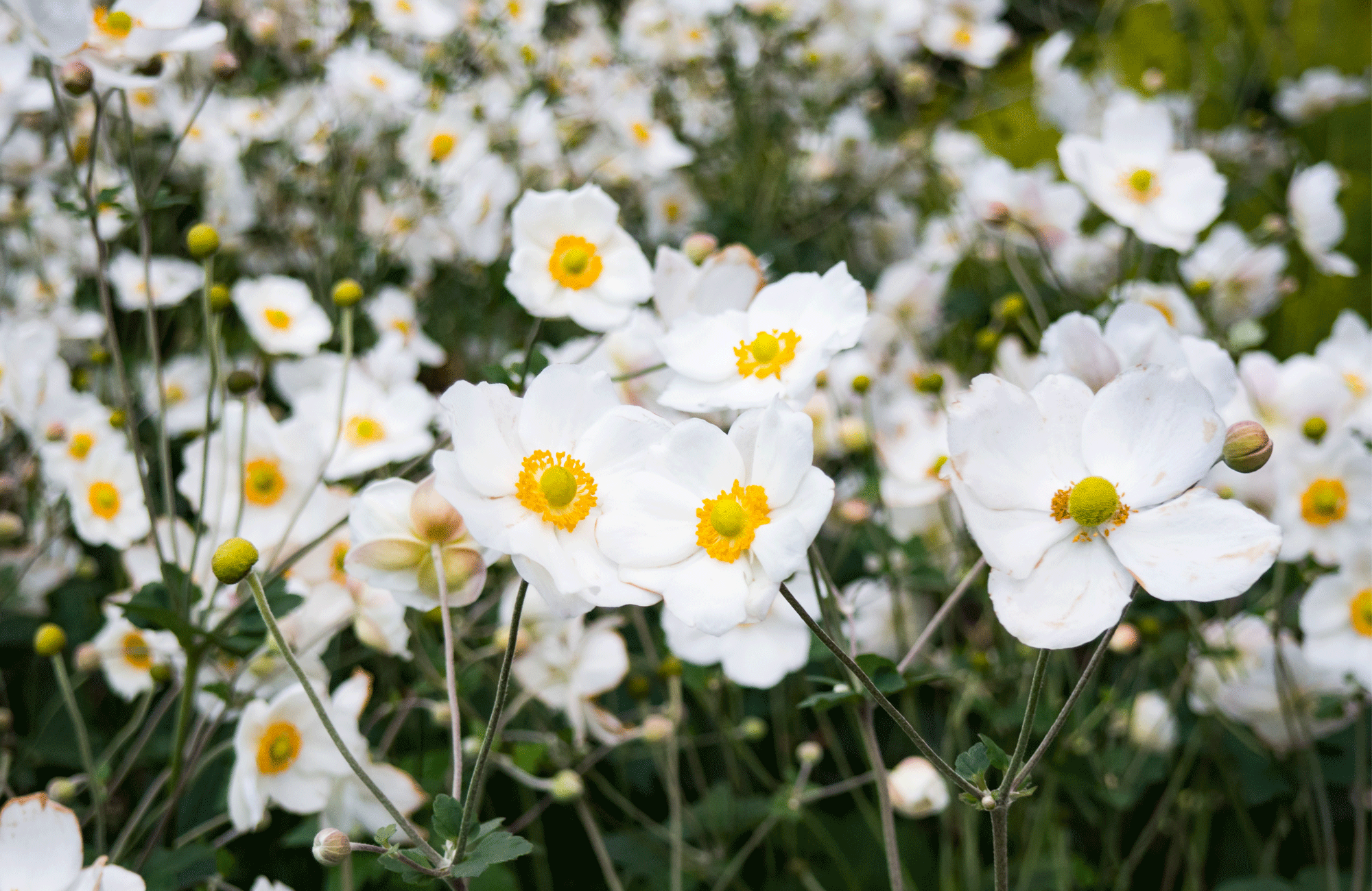 A field of white anemone flowers